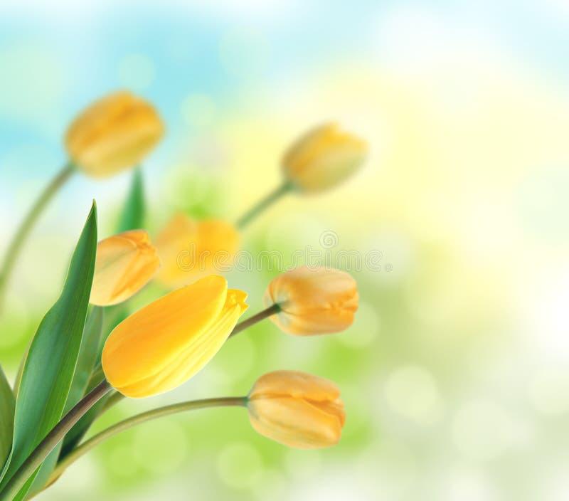Projeto amarelo bonito das tulipas como o fundo floral imagens de stock royalty free