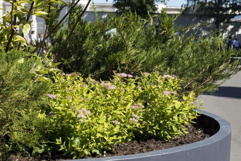 Projeto da paisagem O stonecrop e o thuja cor-de-rosa crescem no canteiro de flores da cidade fotografia de stock royalty free