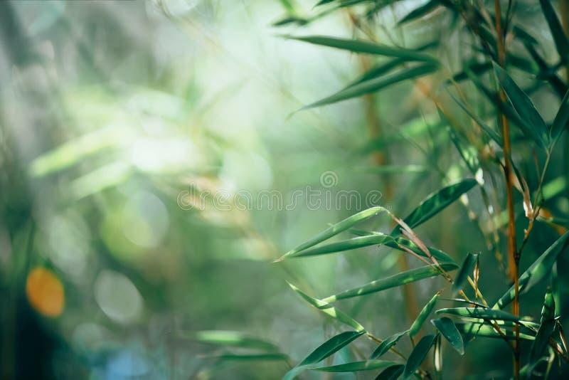Projeto de bambu crescente da beira da floresta de bambu sobre o fundo ensolarado borrado fotografia de stock royalty free