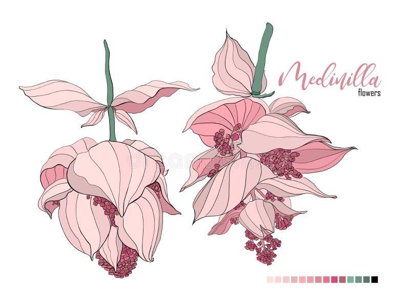Projeto do ramalhete floral do vetor: flor pálida do Medinilla do pó cremoso da alfazema do pêssego do rosa de jardim O vetor do  ilustração royalty free
