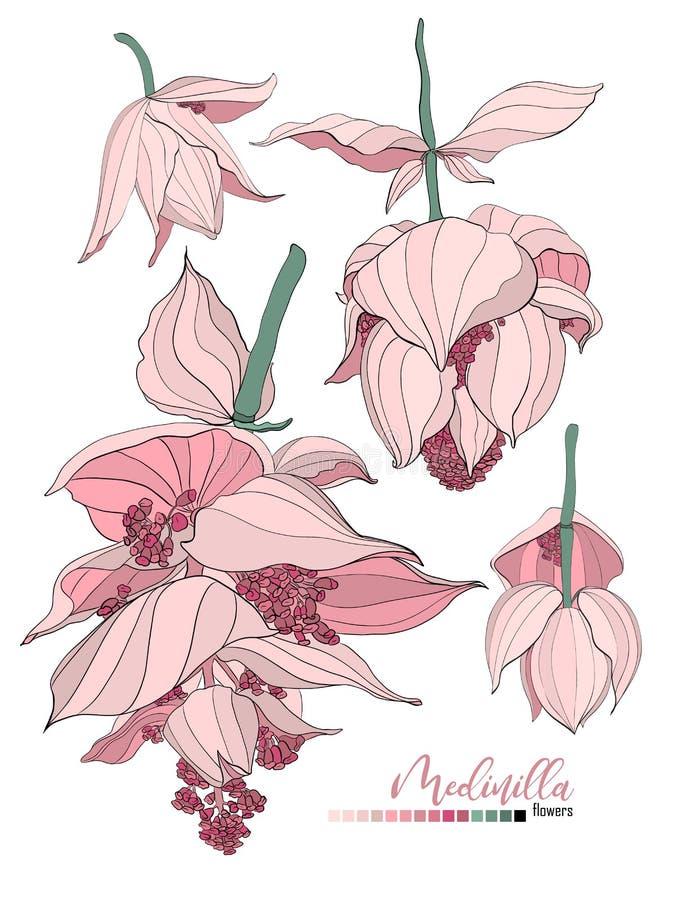 Projeto do ramalhete floral do vetor: flor pálida do Medinilla do pó cremoso da alfazema do pêssego do rosa de jardim O vetor do  ilustração stock