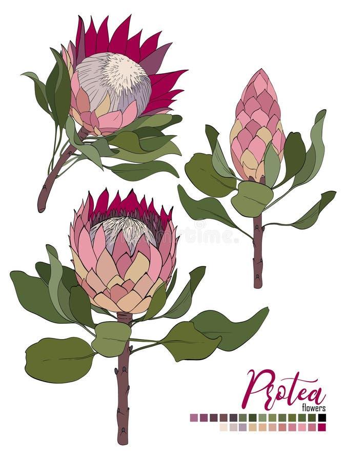 Projeto do ramalhete floral do vetor: flores e folhas do Protea da flor O vetor do casamento convida o cartão imagem de stock royalty free