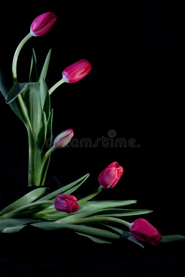 Projeto do Tulip foto de stock