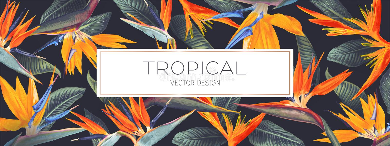 Projeto tropical do vetor do verão para a bandeira ou o inseto com Strelitzia Reginae, as flores tropicais e as folhas ilustração stock