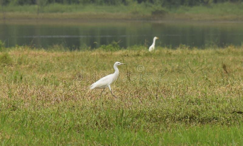 Promenade blanche de plume d'aigret de nature d'Anima Aves images stock