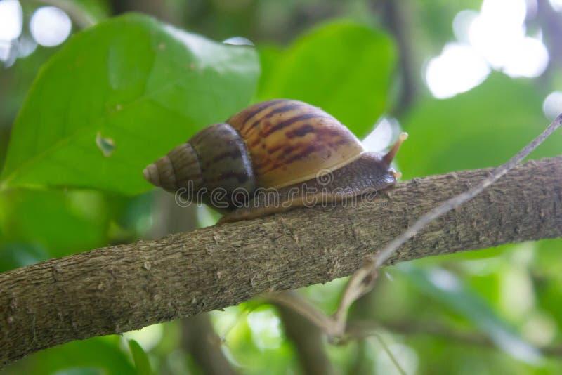 Promenade d'escargot sur l'arbre dans naturel photos stock