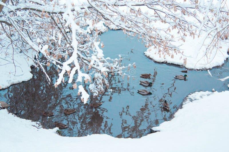 promenade d'hiver de canards sur l'eau photographie stock libre de droits