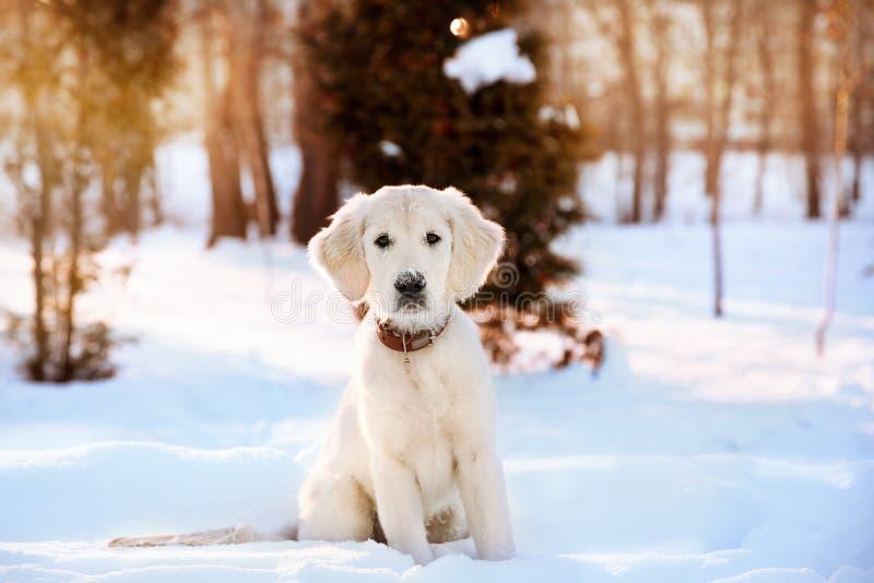 Promenade d'hiver de chiot de golden retriever images stock