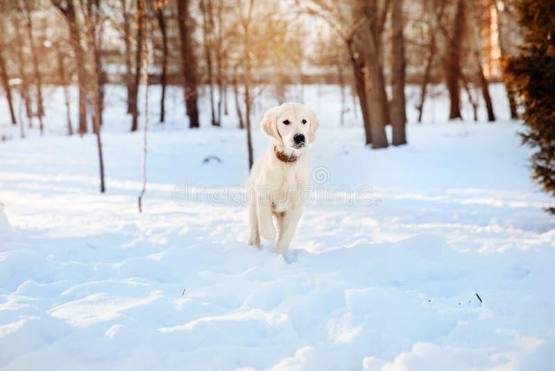 Promenade d'hiver de chiot de golden retriever photographie stock