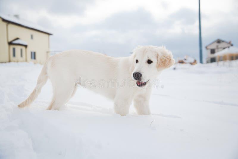 Promenade d'hiver de chiot de golden retriever photos stock