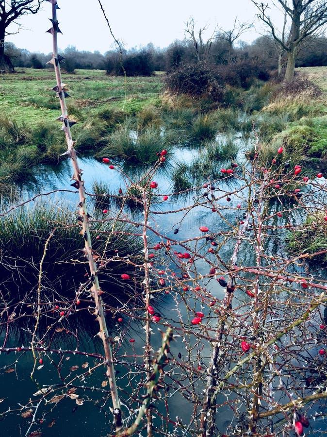 Promenade d'hiver en forêt de Hatfield photographie stock