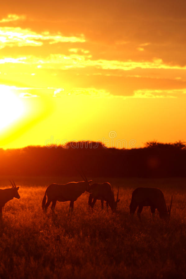 Promenade d'Oryx devant le coucher du soleil photo stock