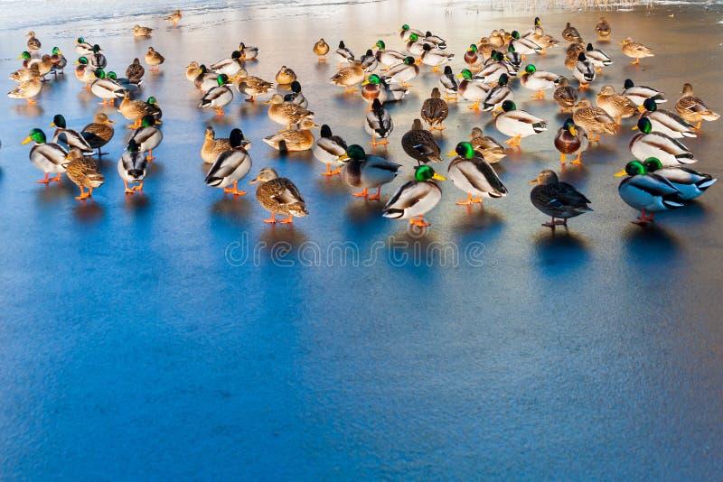 Promenade de canards sur la glace photographie stock