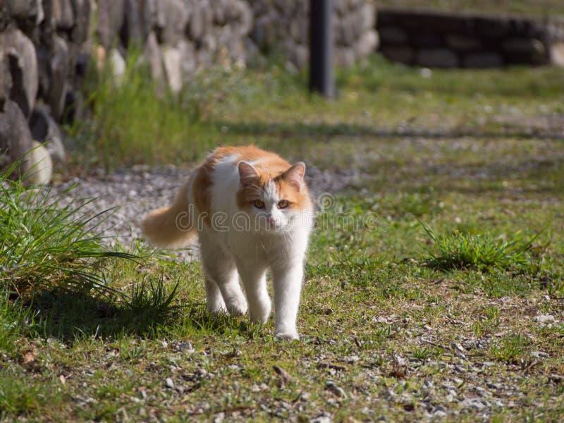 Promenade de chat sur la rue photos libres de droits