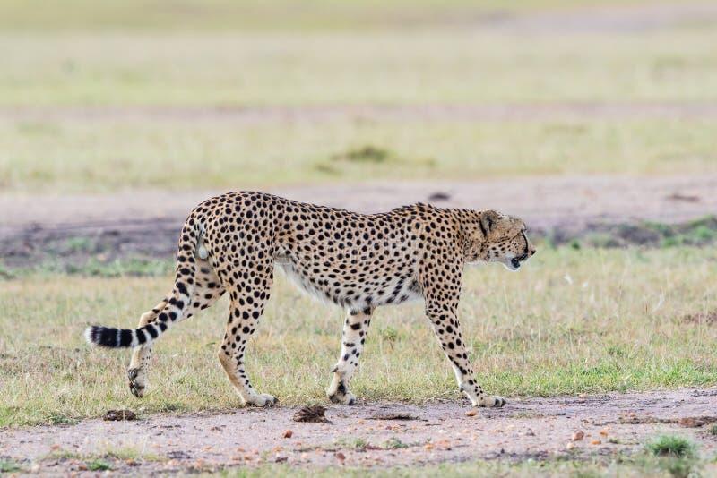 Promenade de guépard à la savane photo libre de droits