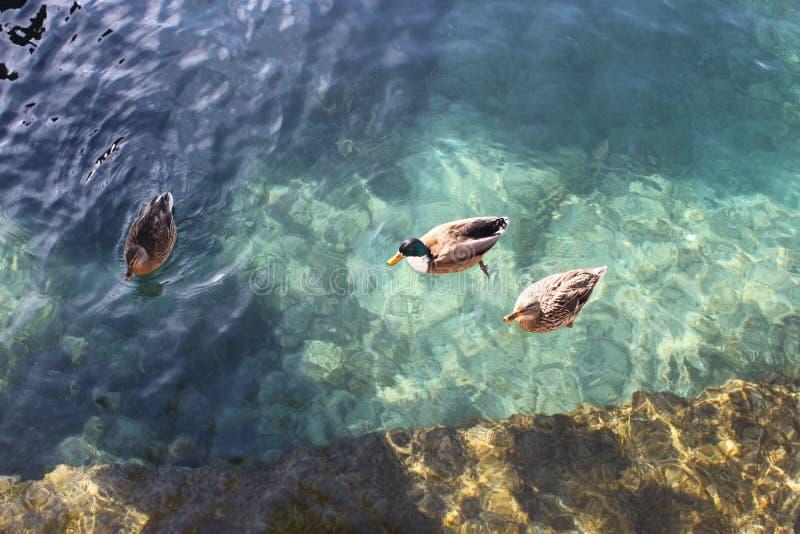 Promenade de la famille des canards photo stock