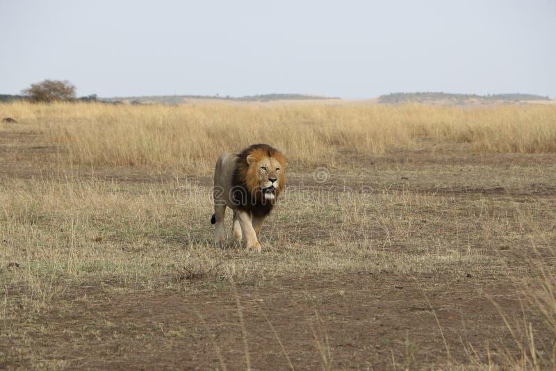 Promenade de lion dans le maasai sauvage Mara images libres de droits