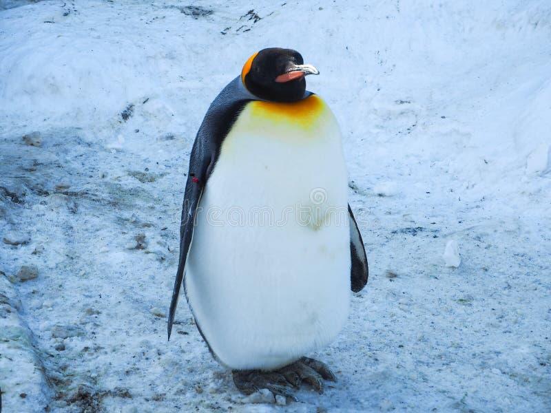 Promenade de pingouin sur la neige photos libres de droits