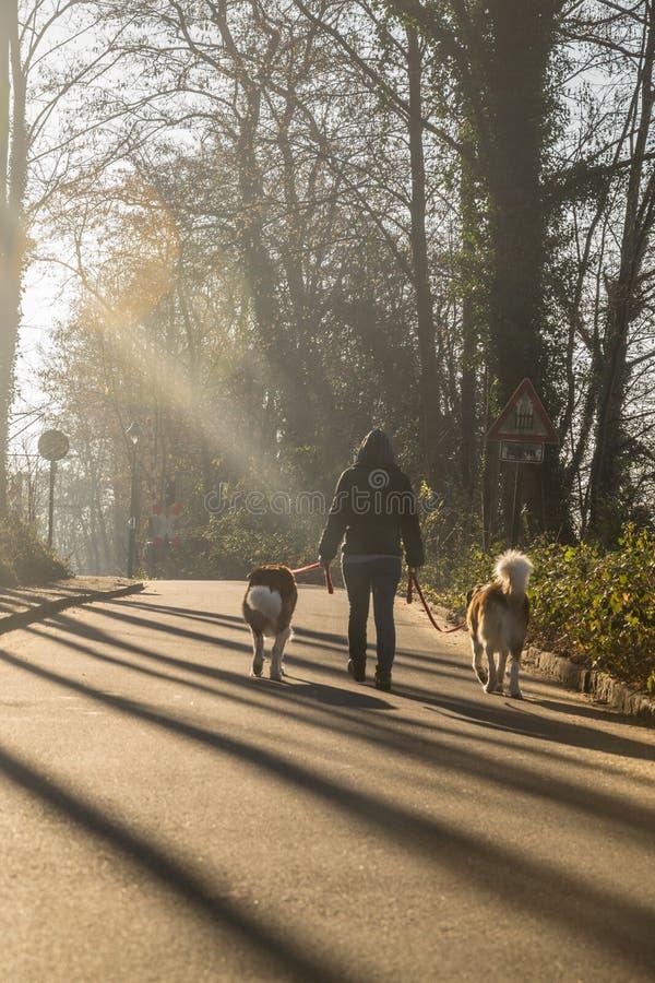 Promenade de ressort dans la forêt avec deux St Bernard photos stock