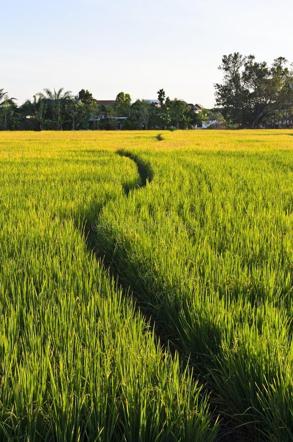 Promenade de voie dans la ferme de riz images stock