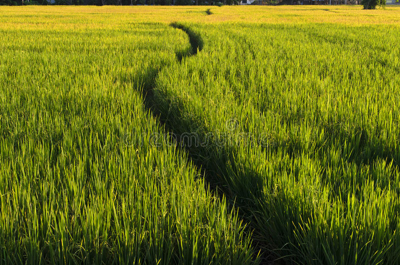 Promenade de voie dans la ferme de riz (Lanscape) photo stock