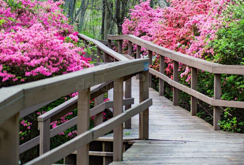 Promenade door een Azalea'stuin die in een Bergpark bloeien stock foto