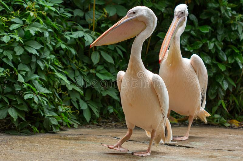 Promenade of pelican birds. Close-up of rosa pelican birds. Photography of wildlife stock images