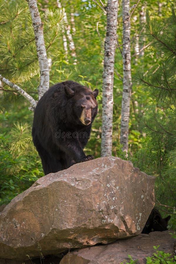 Promenades américanus femelles adultes d'Ursus d'ours noir vers le haut de roche photo libre de droits
