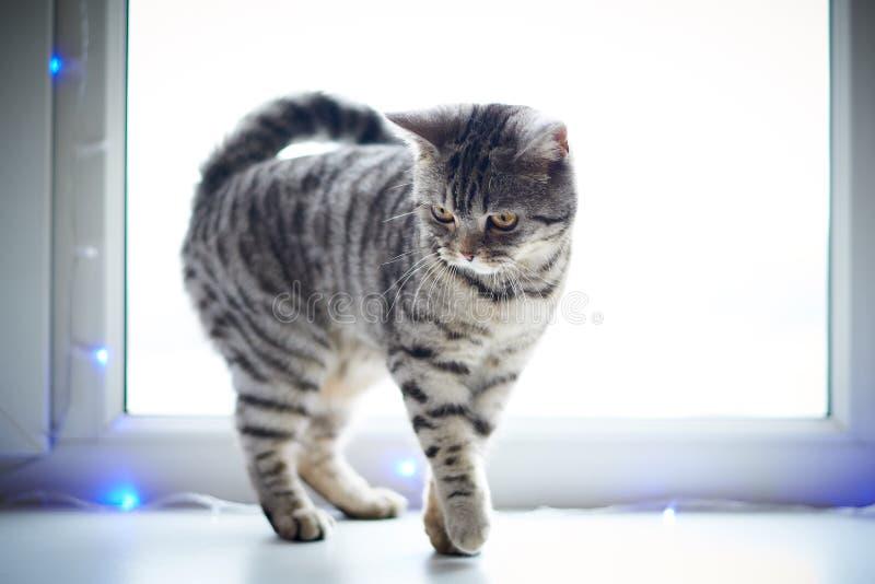 Promenades de chat mignonnes sur le filon-couche de fenêtre images libres de droits