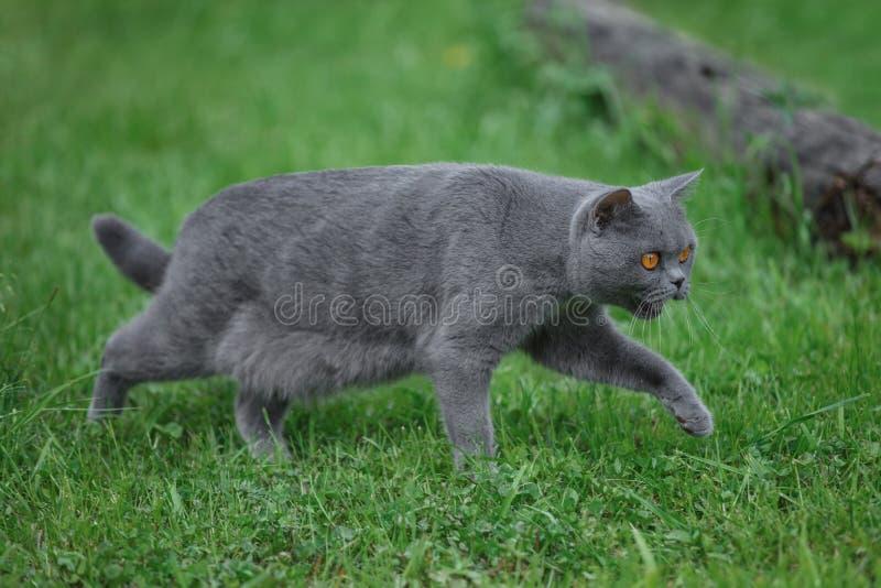 Promenades de chat de race grises sur l'herbe verte images libres de droits