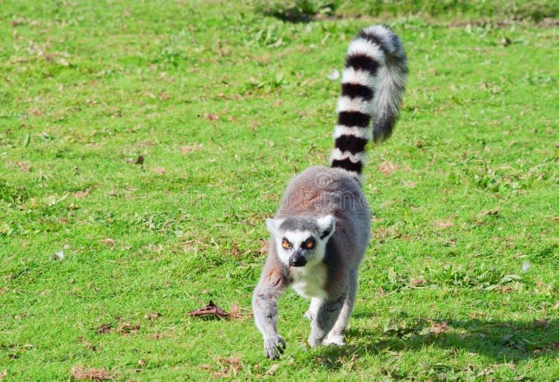 Promenades de lemur Ring-tailed image libre de droits