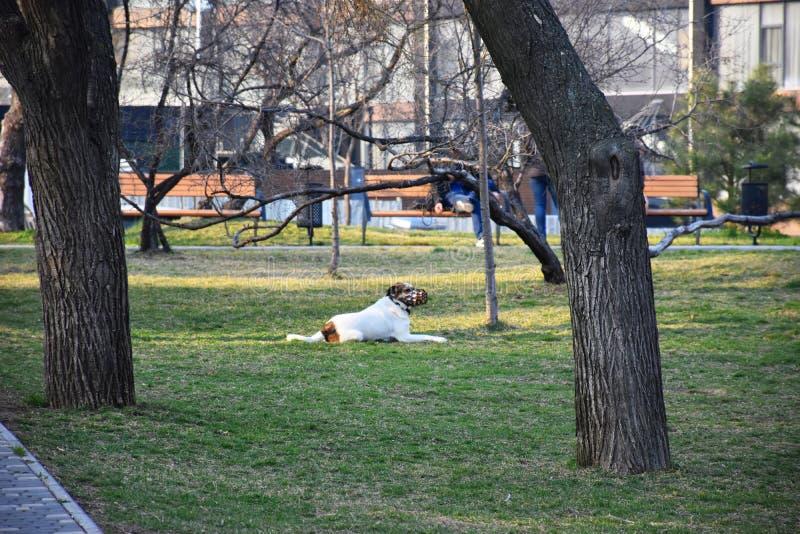Promenades muselées blanches et jeux d'un chien en parc photos stock