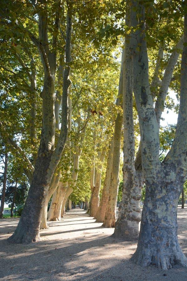 Promenera med gamla och högväxta träd nära sjön Balaton in arkivfoton