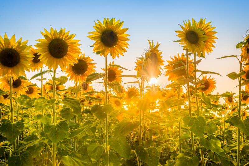 Promienie powstającego słońca łamanie przez słonecznikowego rośliny pola obraz royalty free