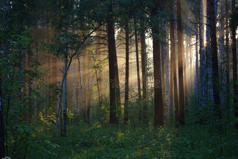 promienieje słonecznych drzewa zdjęcie royalty free