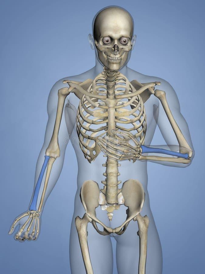 Promieniomierz, Ludzki kościec, 3D model ilustracja wektor