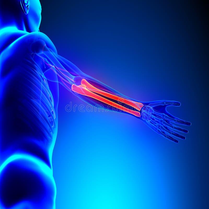 Promieniomierza Ulna kości anatomia z Krążeniowym systemem ilustracji