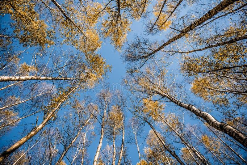 Promieniowi drzewa obraz royalty free