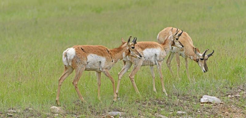 Pronghorn三重奏在大草原里奇的 库存图片