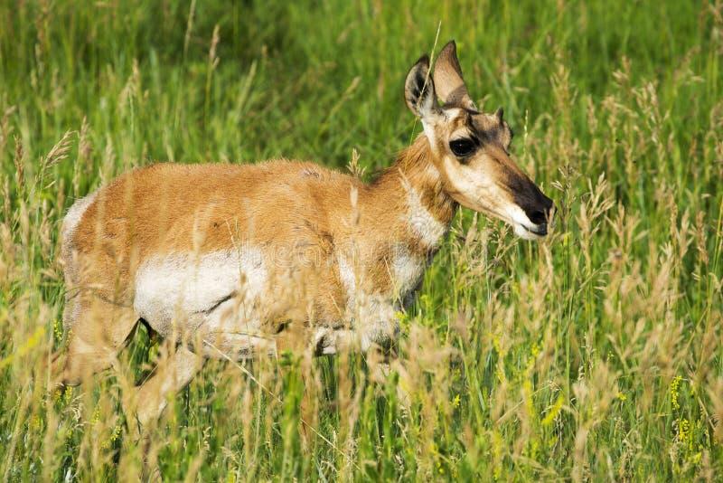 Pronghorn `美国羚羊`母鹿在Custer国家公园 图库摄影
