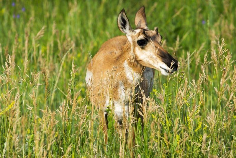 Pronghorn `美国羚羊`母鹿在Custer国家公园 免版税图库摄影