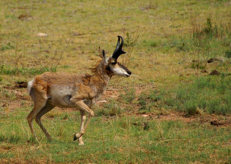 Download Pronghorn stock image. Image of wildlife, buck, horns - 10865551