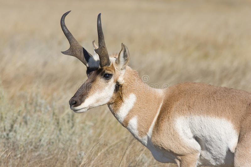 Pronghorn images stock