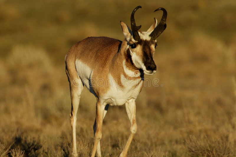 Pronghorn royalty free stock images