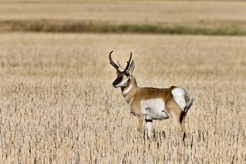 Pronghorn Antelope buck antlers royalty free stock photography