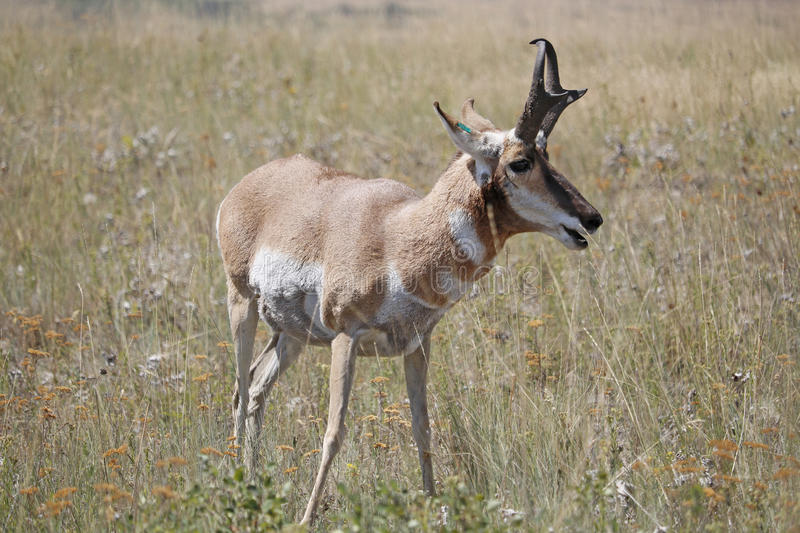 Pronghorn Antelope Eating. A Pronghorn Antelope eating grass in a field stock photos