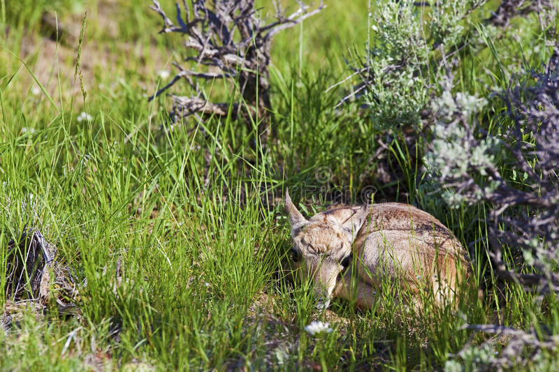 Download Pronghorn Antelope fawn stock photo. Image of america - 28580814