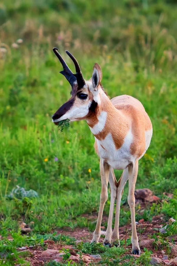 Pronghorn antelope grazing stock image