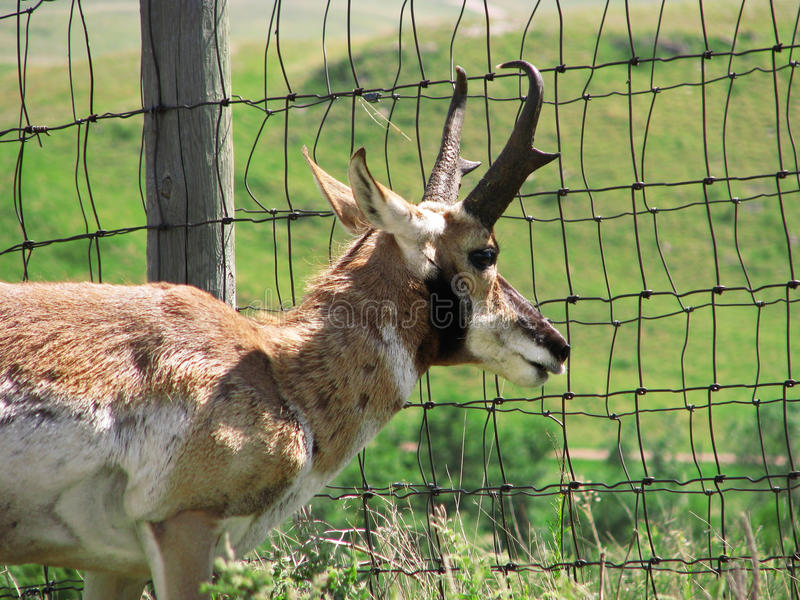 Pronghorn antelope looking through fence royalty free stock photos