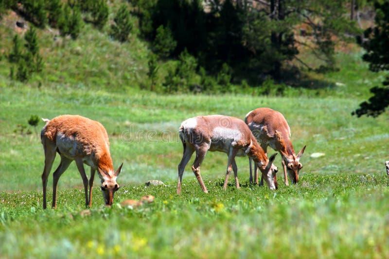 Pronghorn (Antilocapra americana) royalty free stock photography